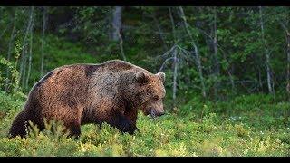 Охота на медведя осенью с лабаза.