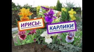 видео Лилейники купить в Украине - Саженцы лилейников от GreenMarket