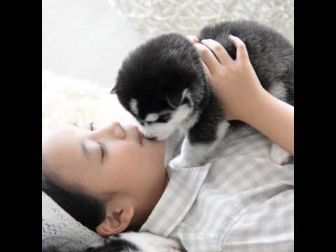 Pomsky Puppies For Sale - Island Puppies NY