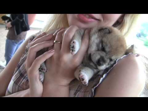 CUTEST PUPPIES SHIBA INU 20 days old