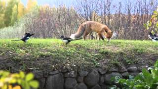 City fox  - Городская лиса  Lappeenranta Finland(Those footages were taken in Lappeenranta (Finnish city around 60 000 population). City foxes are very common here. Это видео было снято в Лаппеенранте ..., 2015-10-15T09:51:14.000Z)