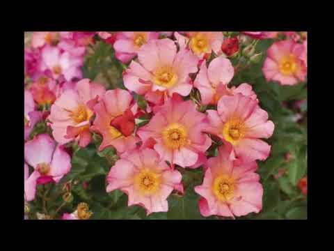 #Почвопокровные #Розы  каталог 2 #Питомник Антипова