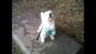 West Highland White Terrier Pepsi Rex Barks At Squirrel