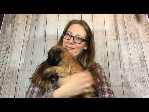 Wheaten Hills Wheaten Terriers - Molly 2018-02 - Boy Orange