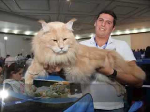 Maior Gato do Brasil