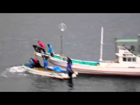 Taiji, Japan - Bottlenose dolphin transferred after failed pith