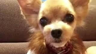 山形弁を話せるおもしろ犬がいました! thumbnail