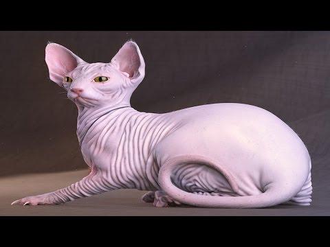 أغلى 10 قطط في العالم