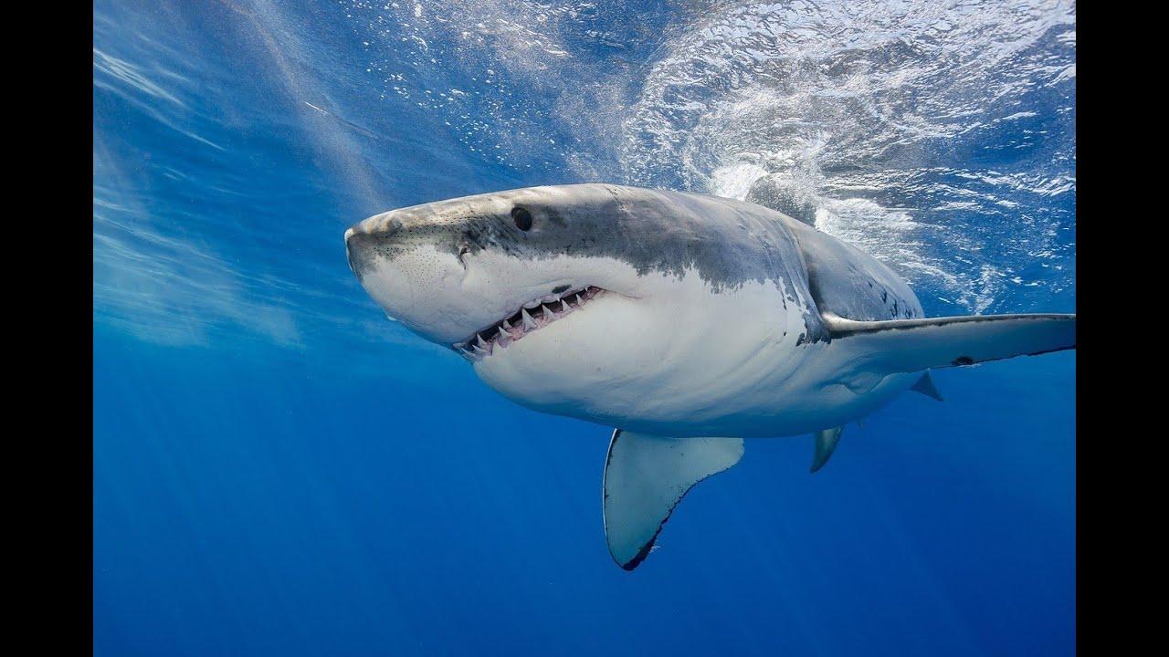 Dancing Shark