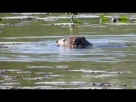 Barney the Beaver