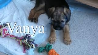 Vanya the border terrier puppy!