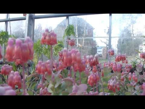Kalanchoe tessa - Bryophyllum