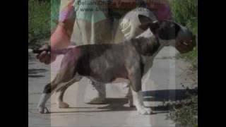 Bull Terrier Female Puppies - The Four Horsemen Kennel