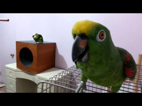 Amazon Parrot Chico is Laughing