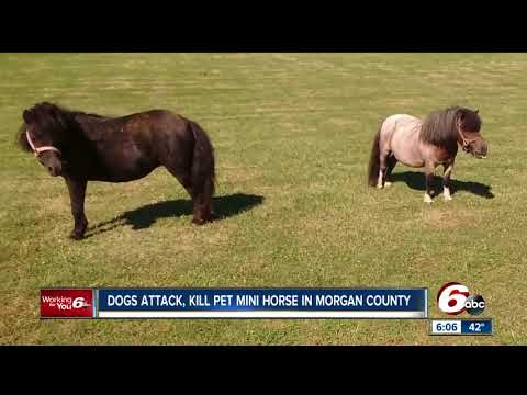 Pet mini horse attacked, killed by dogs in Morgan County