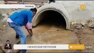 В Таиланде поймали гигантскую кобру