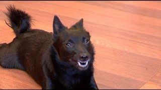 Собака породы шипперке - любимица семьи бычковых