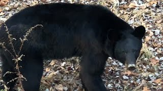 BEAR ENCOUNTER IN MY TREE STAND! NJ Archery Whitetail EP 6