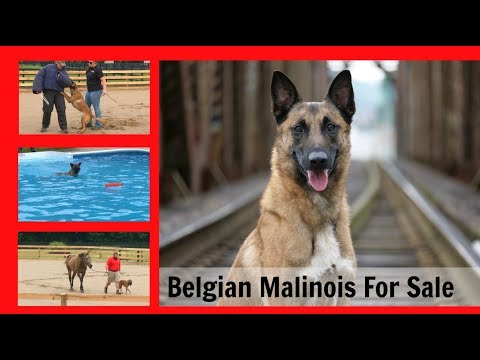 "Executive Level Family Raised Professionally Trained Belgian Malinois ""Ken"" For Sale $75,000"