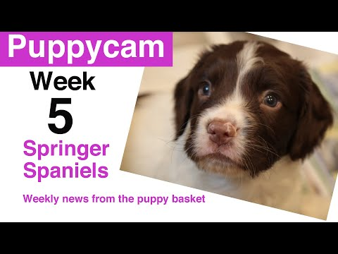 Puppies | Springer Spaniel Puppies | Week 5 visit to the puppy pen