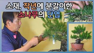분재관리 108강 소재,  작년에 분갈이한 소나무의 단…