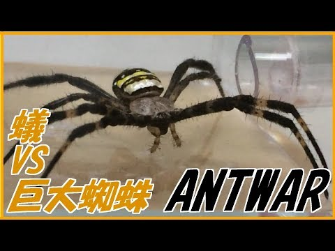 蟻戦争#144 アリVS巨大グモ(コガネグモ)~粘着性の糸攻撃~編~ant vs spider~