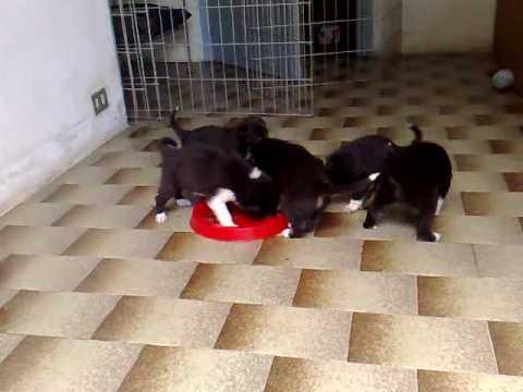 Blackderrys 6 - I cuccioli di Robin e Milo - working border collie pups