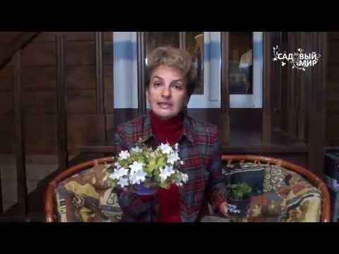 Как вырастить цветок Жених и невеста Колокольчик равнолистный