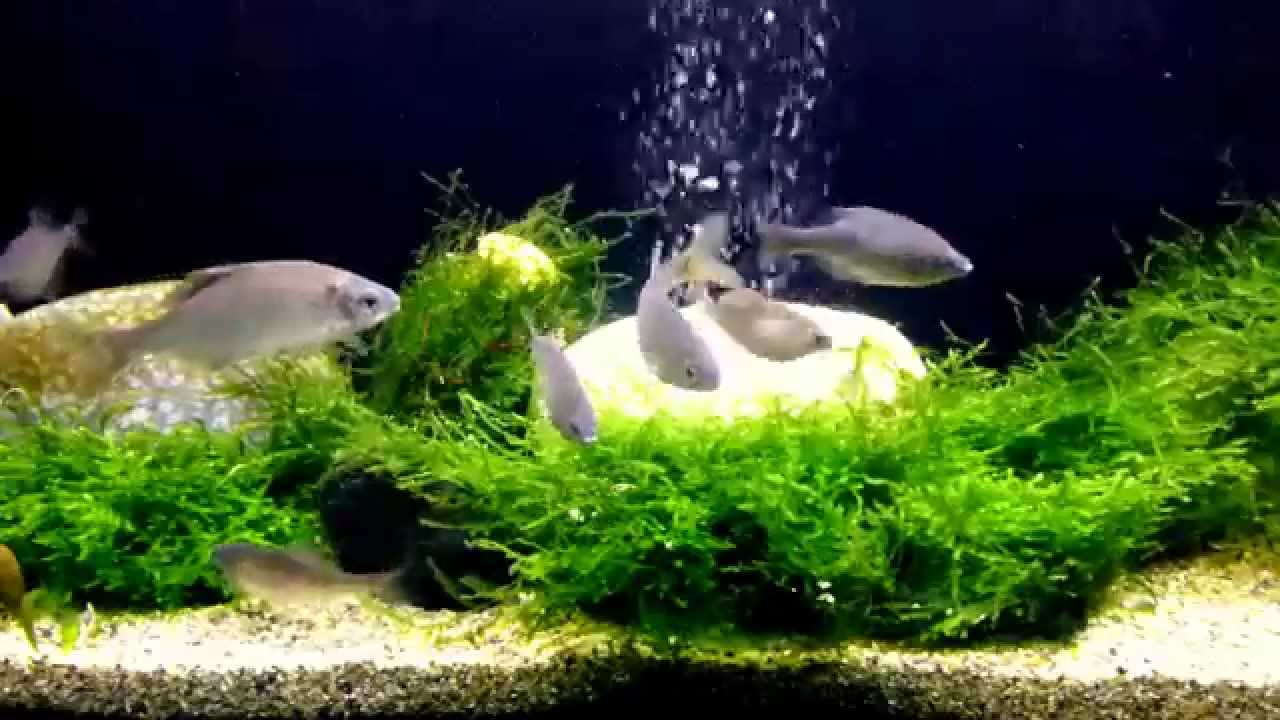 Bitterling aquarium youtube for Bitterlinge fische