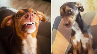 Собака в гостях заулыбалась человеческой улыбкой