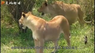 狮子放松警惕看不起野牛而受到的惨痛教训
