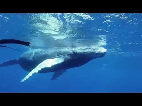 FreeDiving and Whale Encounters in Tonga