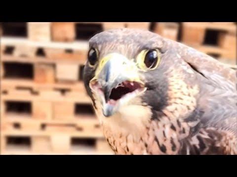 Вопрос: Какая птица кричит громче всех других птиц в мире?