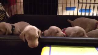 Wonder litter pups potty training