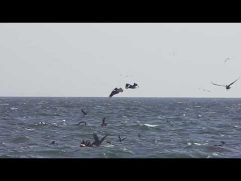 Travel Videos Mexico Birds Feeding in the Ocean