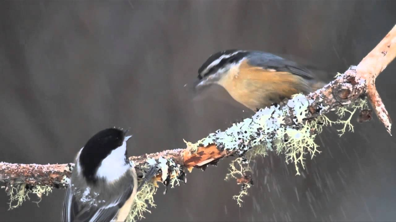 Chickadee versus nuthatch