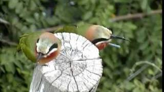 White-fronted Bee-eaters Pete's Pond 2012-02-12.wmv