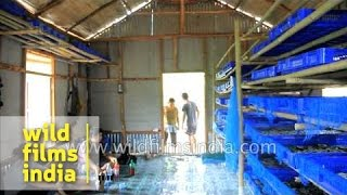 Rearing of silkworms for production of raw silk - Mizoram
