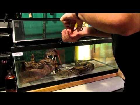 feeding stubborn snakes   chicken broth  episode 75