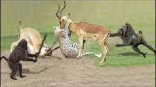HUNTER BECOMES THE HUNTED - Mother Zebra Save Her Newborn From Lion , Giraffe vs Lion #5