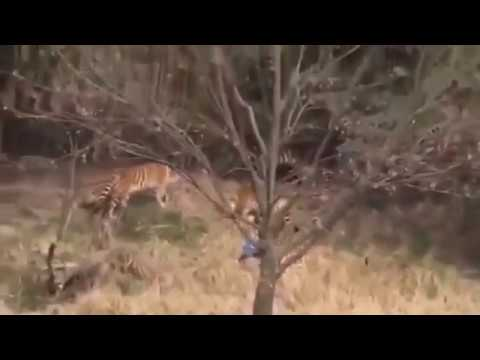 tiger attack and kill human  at Ningbo Youngor Zoo in China! latest video
