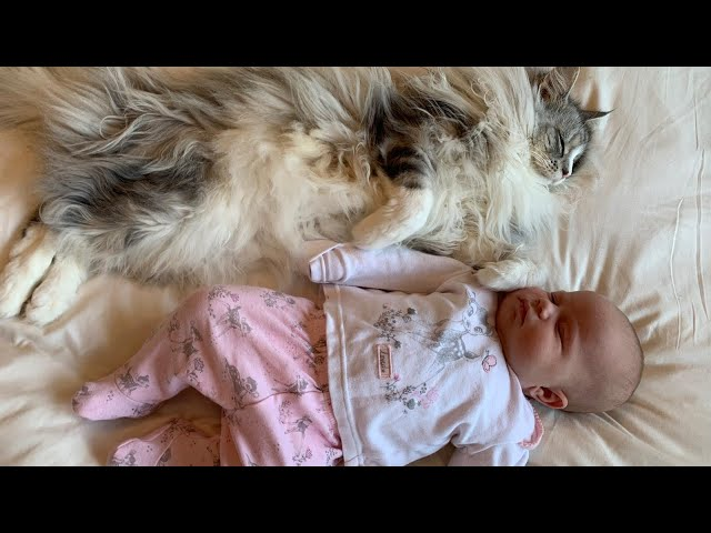 7 STAGES OF A CAT BONDING WITH NEWBORN BABY | MAINECOON
