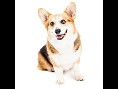 Welsh Corgi Dog Breed