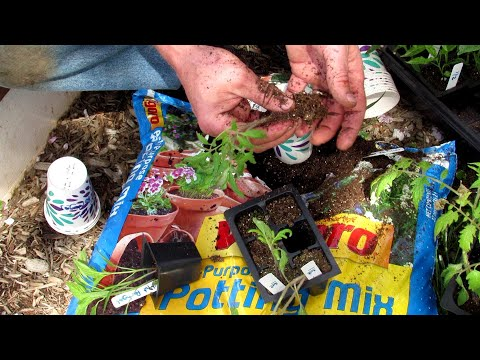 How To Separate And Pot-Up Your Tomato & Pepper Seedlings Into Larger Cups: Let Them Rest & Recover!