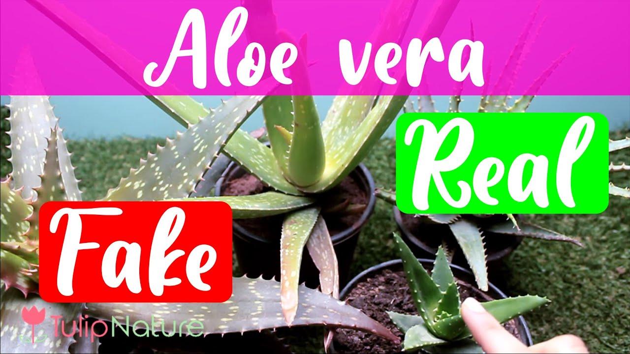 Real Vs Fake Aloe Vera You
