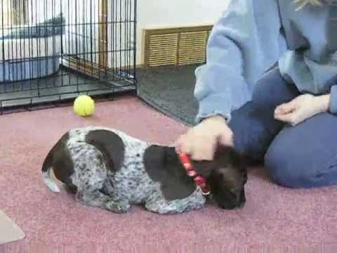 Cute German Shorthaired Pointer Puppy Learning To Sit