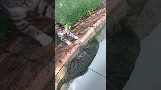 Tigers react like this towards normal cats ! thumbnail