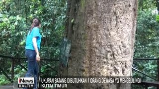 Video POHON ULIN TERBESAR DI DUNIA download MP3, 3GP, MP4, WEBM, AVI, FLV Juni 2018