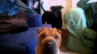Shar Pei The Breed