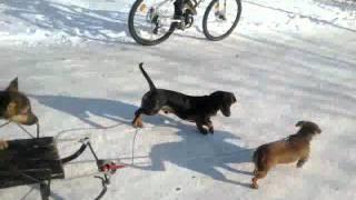 Смешные животные:Такси для собак.mp4